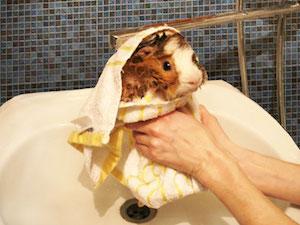 Как и когда купать морских свинок в домашних условиях 357